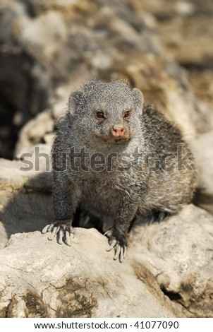 dwarf mongoose near the hole, South Africa, midday - stock photo