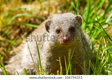 Dwarf mongoose on a sunny day in the park - stock photo