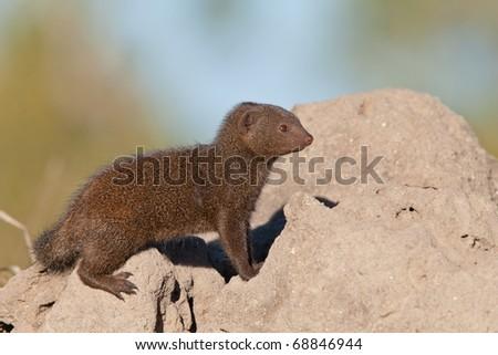 Dwarf Mongoose on Termite Mound, South Africa - stock photo