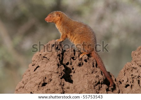 Dwarf mongoose sentinel on termite mound, Serengeti NP, Tanzania, East Africa