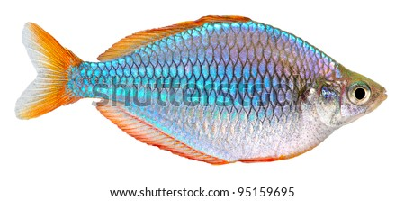 Dwarf Neon Rainbow fish isolated on white background. Melanotaenia praecox.
