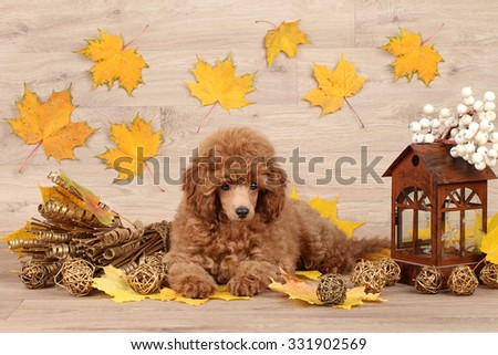Dwarf poodle puppy on the background of autumn leaves - stock photo