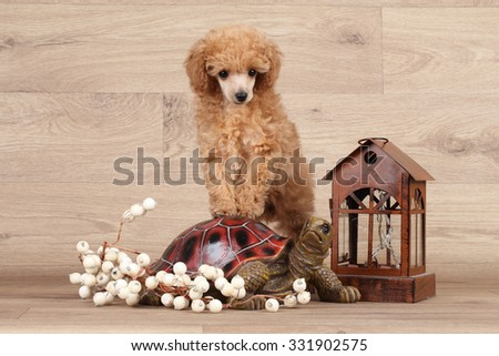 Dwarf poodle puppy standing on a turtle on the wooden background - stock photo