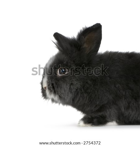 dwarf rabbit in front of a white background