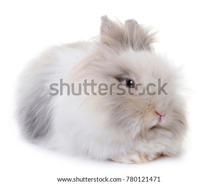dwarf rabbit in front of white background