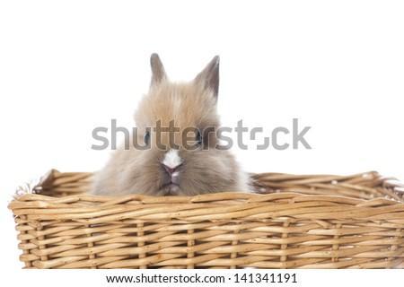 Dwarf rabbit isolated on white - stock photo