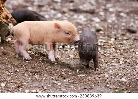 dwarf thai pigs - stock photo
