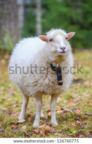 Dwarf white sheep in forest