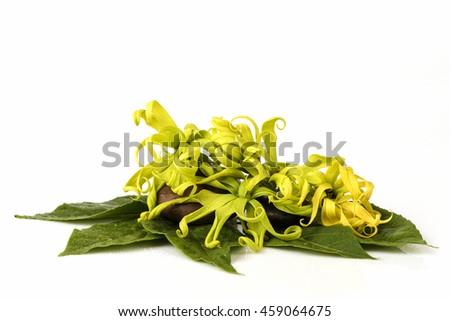 Dwarf Ylang-Ylang, Ilang.-Ilang, (Cananga fruticosa) flower native of Thailand, aromatic and medicinal properties. - stock photo