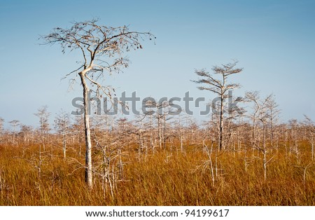 Dwarfed bald cypress trees near the Pa-hay-okee trail in Everglades National Park near Homestead, Florida - stock photo