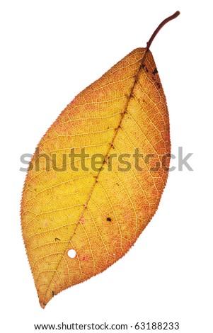 Dying and rotting leaf symbolizing autumn. - stock photo