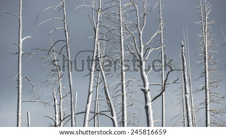 Dying pine tree at Yellowstone National Park - stock photo