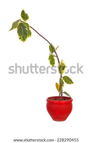 Dying plant in red clay flower pot isolated over white - stock photo