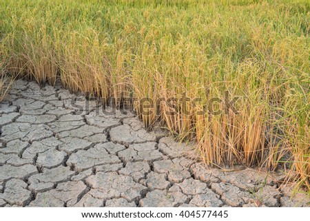 dying rice because of drought