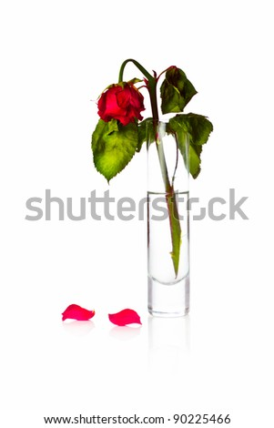 dying rose flower or dead love - stock photo