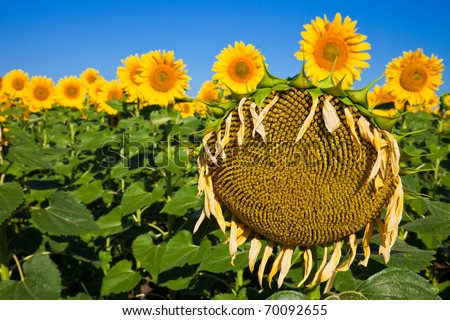 Dying sunflower plant among a healthy field. - stock photo