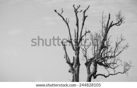 Dying tree (black and white)