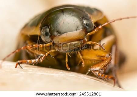 Dytiscus marginalis - stock photo
