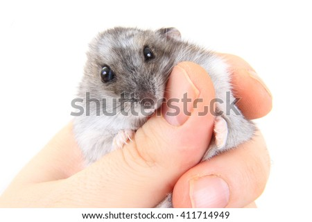 dzungarian hamster in human hand isolated on the white background - stock photo