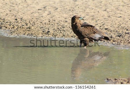 Eagle - African Wild Birds - Pride and Joy fills this holy bird as its reflection makes him into double the power it represents.