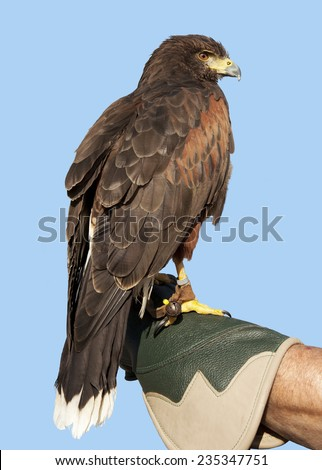 Eagle against a blue sky sitting on the hand of a falconer