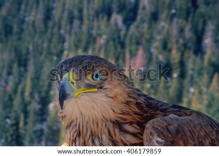 eagle against the backdrop of the forest, birds of prey, golden eagle - stock photo