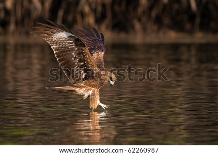 Eagle attacking a fish in the mangroves - stock photo