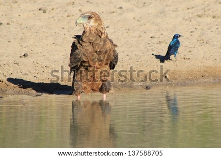 Eagle, Bateleur Young - Wild Birds from Africa - Looking in opposite directions, this Eagle and Starling will share the same water on a game ranch in Namibia.