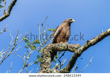 Eagle Bird Bird eagle kite perched on tree branch in morning blue sky - stock photo