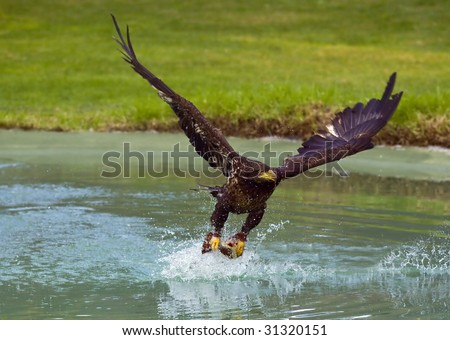 Eagles Hunting Fish Eagle Catching Fish