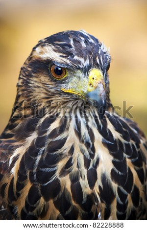 Eagle close up - stock photo