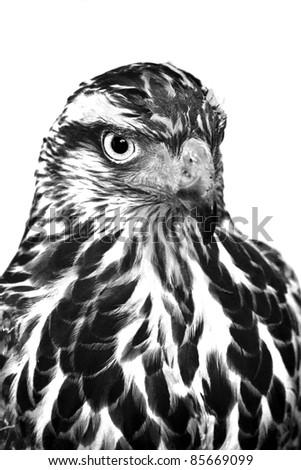 Eagle close up B&W - stock photo