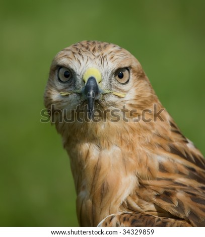 Eagle closeup - stock photo