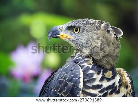 Eagle Crowned (Stepphanoaetus Coronatus) - stock photo