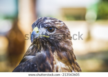 eagle, diurnal bird of prey with beautiful plumage and yellow beak - stock photo
