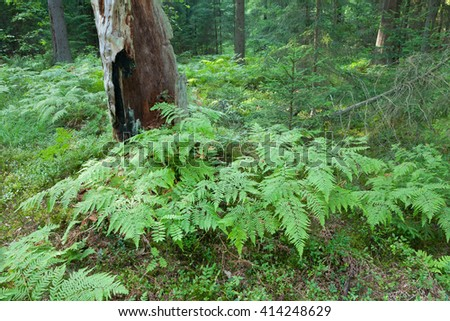 Eagle Ferns and old spruce tree stump moss wrapped in summertime forest,Bialowieza Forest,Poland,Europe - stock photo