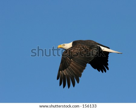 Eagle flying - stock photo
