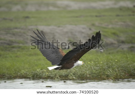 Eagle flying over water - stock photo
