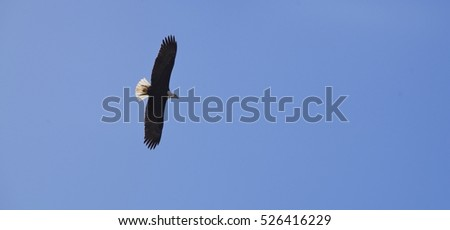Eagle flying under a blue cloudless sky