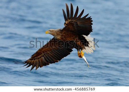 Eagle flying with fish. Beautiful , White-tailed Eagle, Haliaeetus albicilla, flying bird of prey, with sea in background, Kamchatka, Russia. Wildlife action behaviour scene from nature. Bird in fly. - stock photo