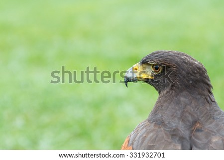 Eagle Harris Hawk watching. Parabuteo unicinctus.