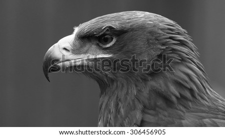 Eagle head shot in black and white - stock photo
