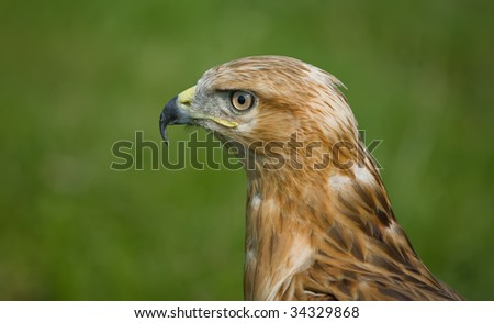 Eagle in profile - stock photo
