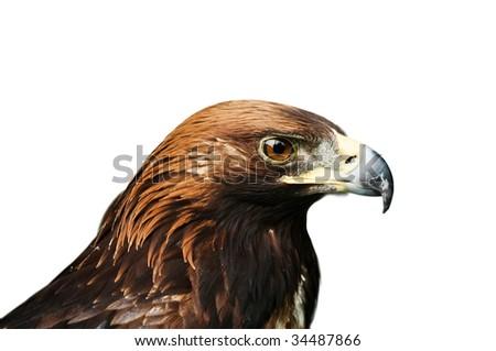 eagle isolated on white background - stock photo