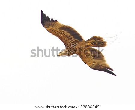 Eagle isolated  showing wing spread And rat paw on white background - stock photo