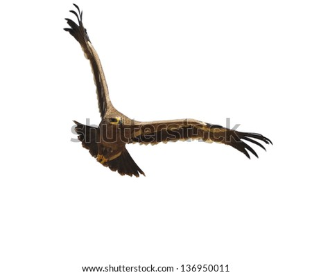 Eagle landing in thailand on.White background.