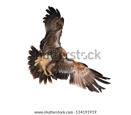 Eagle landing in thailand.White background. - stock photo