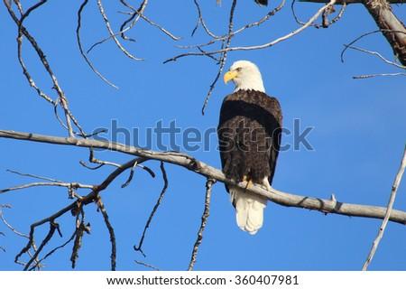 Eagle on the Boise River, Idaho - stock photo
