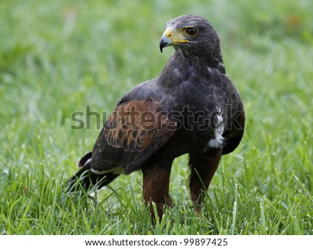 Eagle on the grass - stock photo