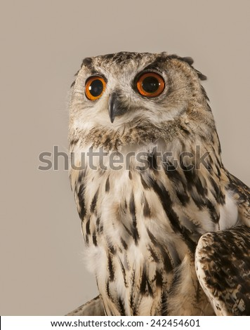EAGLE OWL 5.  A well lit studio shot of an eagle owl looking slightly up - stock photo